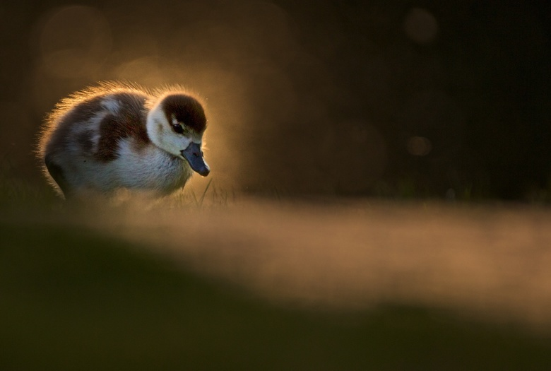 On my own - Jong gansje in het park met zonsondergang. Ik was vergeten de ISO op automatisch te zetten waardoor ik een hele donkere foto kreeg maar me