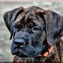 Boxer pup 2
