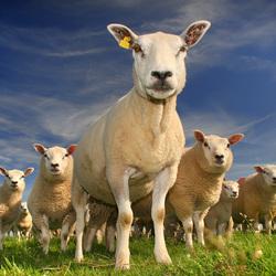schapen (prijzen)