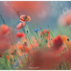 a field of poppys