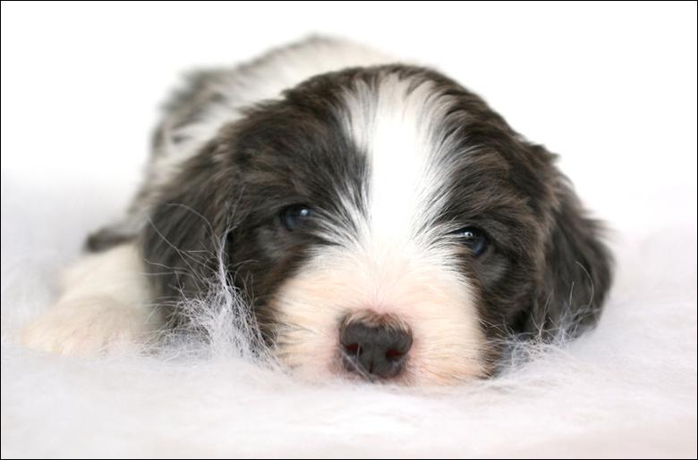Amy - Bearded collie pup @ 5 weekjes<br /> <br /> Gemaakt met natuurlijk licht