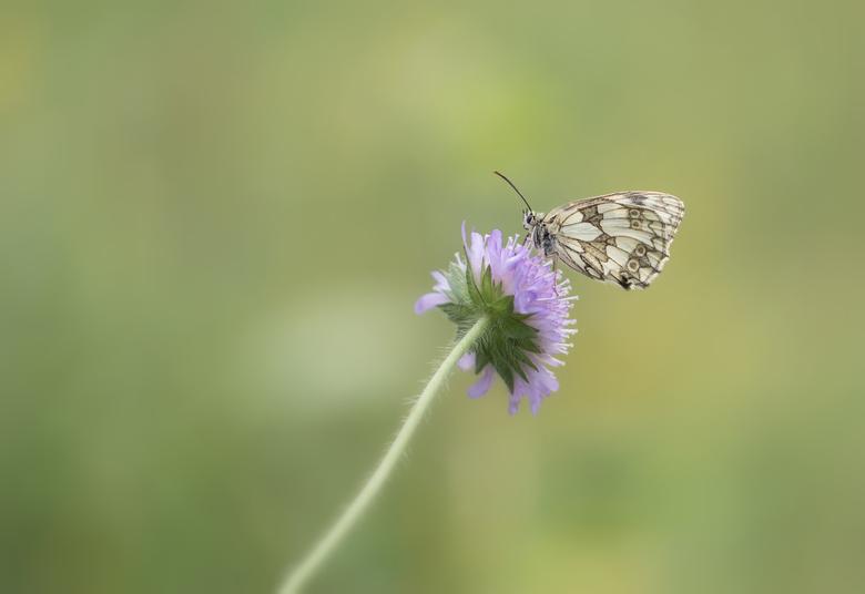 """Dambordje - Afgelopen week """"eventjes"""" op en af richting Eifel om deze mooie vlindersoort vast te leggen. Primeurtje voor mijn eigen. Was wat"""