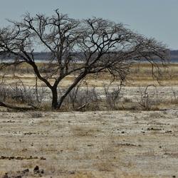boom op de zoutpan Etoscha NP