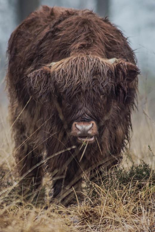Schotse hooglander -