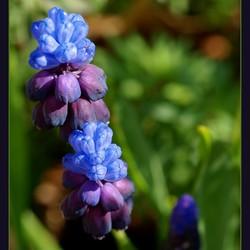 Blauwe druif