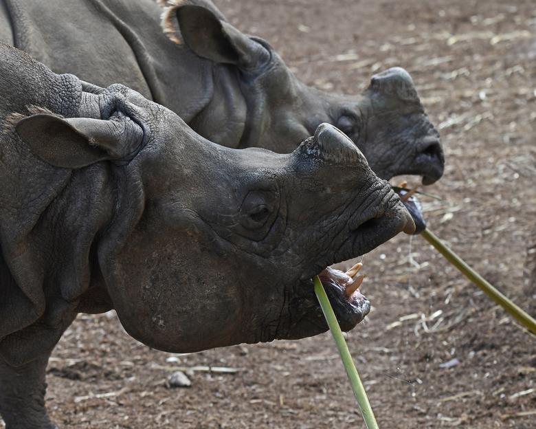 op een houtje bijten - Terra Natura in Benidorm verzorgt een kudde van drie Indische neushoorns, twee koeien en een stier. Tot op heden heeft de zoo é