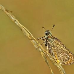 Thymelicus lineola..