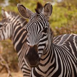 Zebra in Tarangire NP