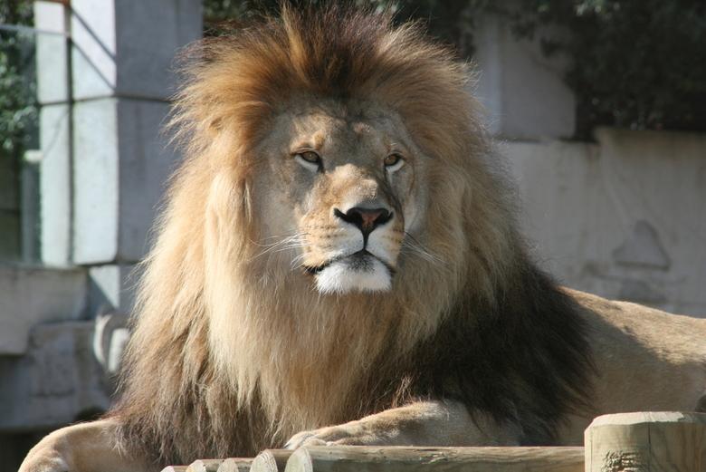 King of the Sun - Leeuw in de dierentuin van Palmyre in Frankrijk geniet van de zon