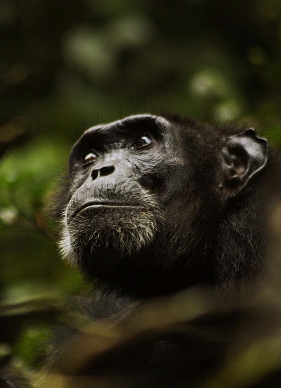 Old chimp - Chimp, Kibale, Uganda