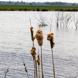 Lisdodde s in het riet in de Kraanlannen Veenhoop