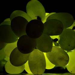 Gloeiende druiven