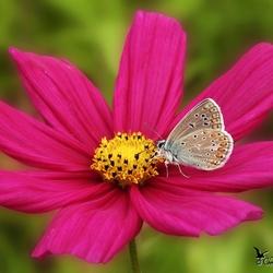 Blauwtje op een cosmea bipinnatus bloem