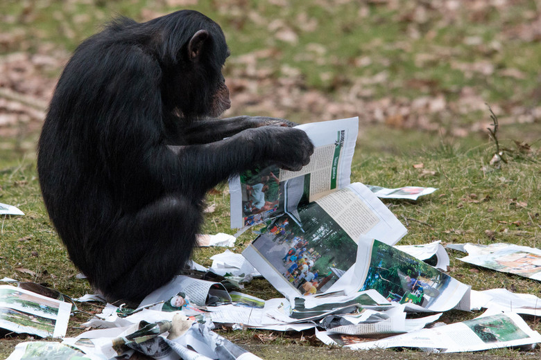 Chimpansee - even de krant lezen.