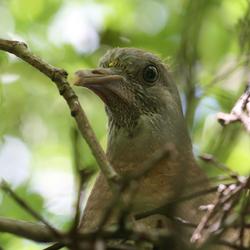 Nieuwsgierige jonge duif
