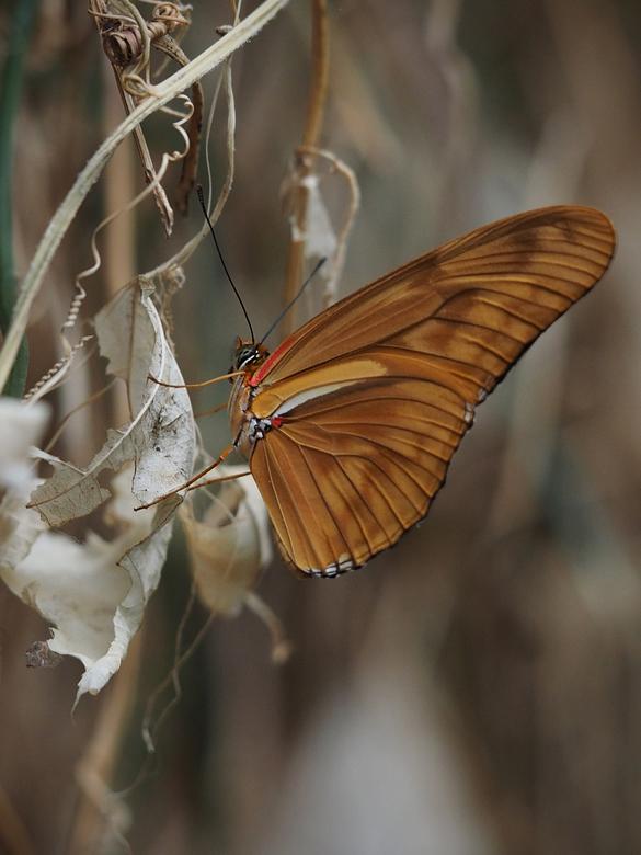 Waarland Vlindorado  - Dit is de buitenkant van dezelfde vlinders (vorige upload)