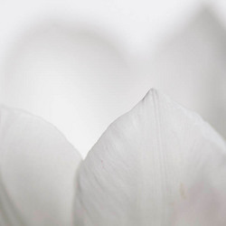 Tulpen uit R....dam...