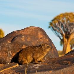 Klipdasje bij kokerboom forest, Nambië