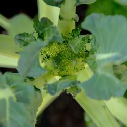 Broccoli - Weer gezond het nieuwe jaar beginnen!