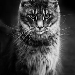 Maine Coon cat...