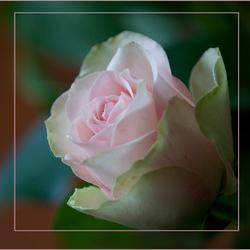 Een roosje voor iedere dag ........