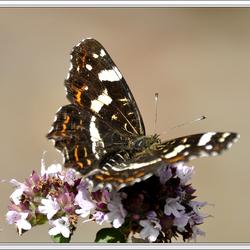 Vlinder in onze tuin