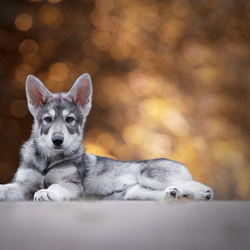 Wolfhond