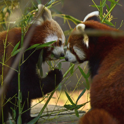 Rode panda's