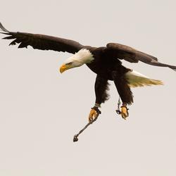 Bald Eagle duikt op prooi