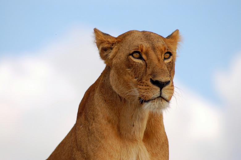 Leeuwin Nairobi park - Deze leeuwin was zo aandachtig de omgeving aan het afspeuren naar een prooi dat ze ons totaal negeerde. We stonden nog geen 10