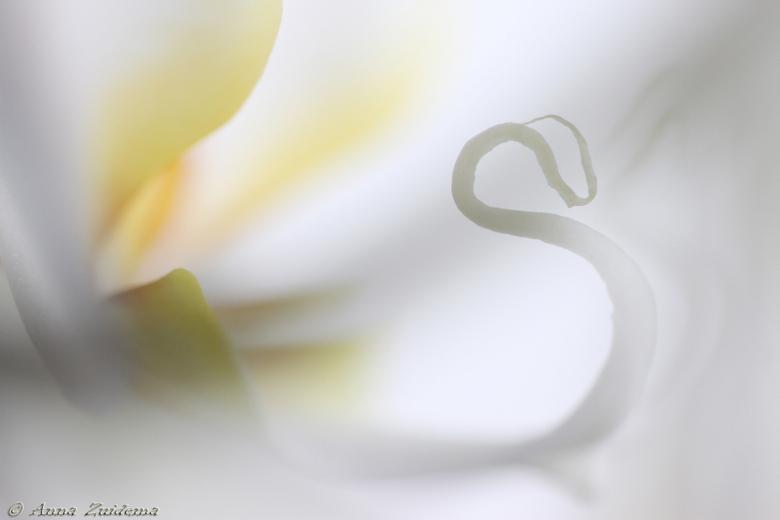 Orchid Swan - Hoe mooi kan een Orchidee zijn....