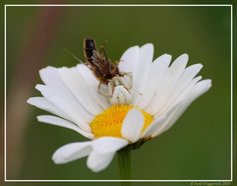 Camouflage - Ik was een aantal mooie margrieten aan het fotograferen toen ik tot mijn verbazing een bijna hagelwitte spin op de margriet aantrof. Deze