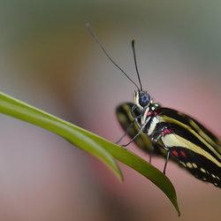 Heliconius Charitonius (Passiebloem vlinder)