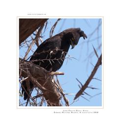 Long-Crested Eagle, Kenia