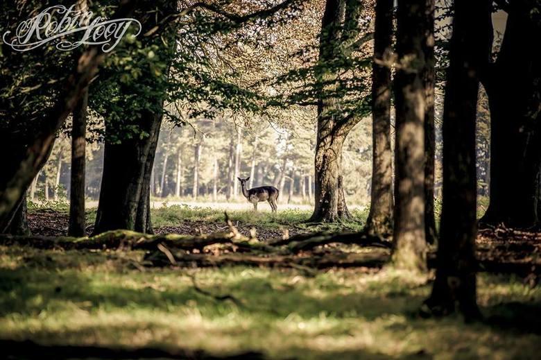 Op wacht in het Veluwse bos - Hoe stil je ook bent in het bos, en hoe ver je ook weg staat, ze horen / zien / ruiken je vrijwel altijd. Maar hierdoor