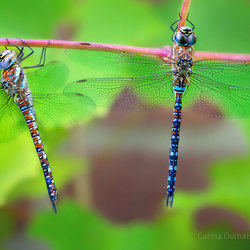mannetje en vrouwtje paardenbijterlibel