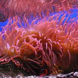 zee anemoon