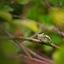 Europese boomkikker