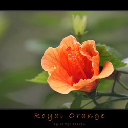 Royal Orange
