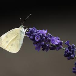 Koolwitje op Lavendel