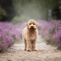 Labradoodle pup tussen de heide