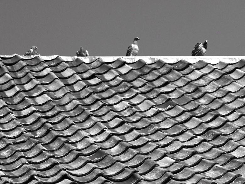 Duiven op ons dak