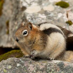 Canadian grond eekhoorn