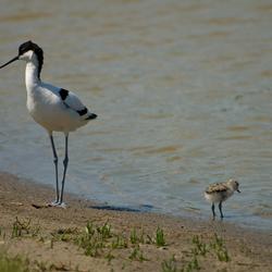 moeder en baby kluut (recurvirostra avosetta)