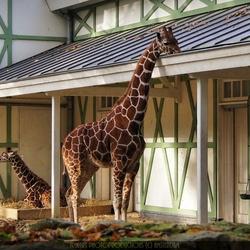Etende giraffe met jong