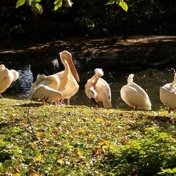 Poetsende pelikanen.