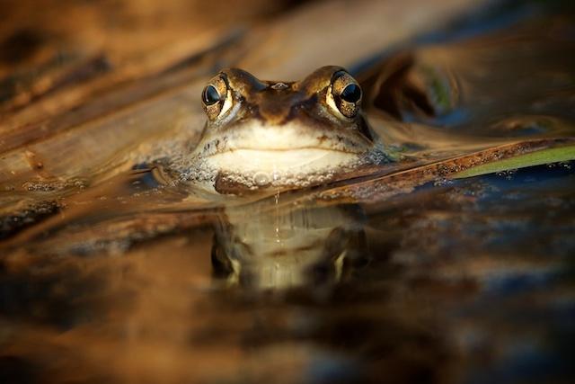De natuur ontwaakt... - In een paddenpool in het Alblasserbos zat deze kikker. Andere kikkers waren wat schuw en doken snel onder water. Deze niet. Al