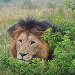 Lion King Zuid Afrika
