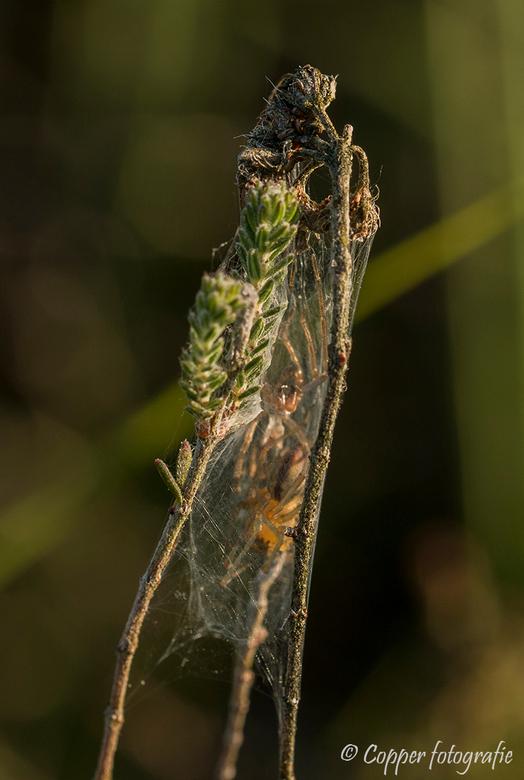 Zoomdag Heino: Twee spinnen in een soort cocon