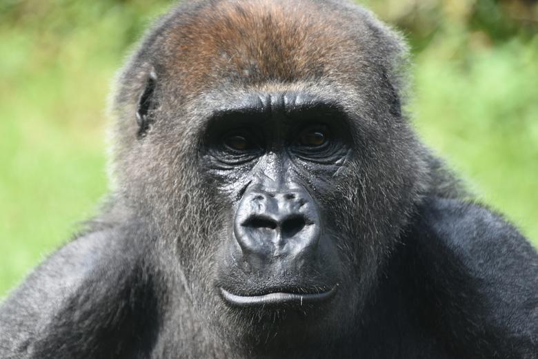 DSC_0630 - Gorilla